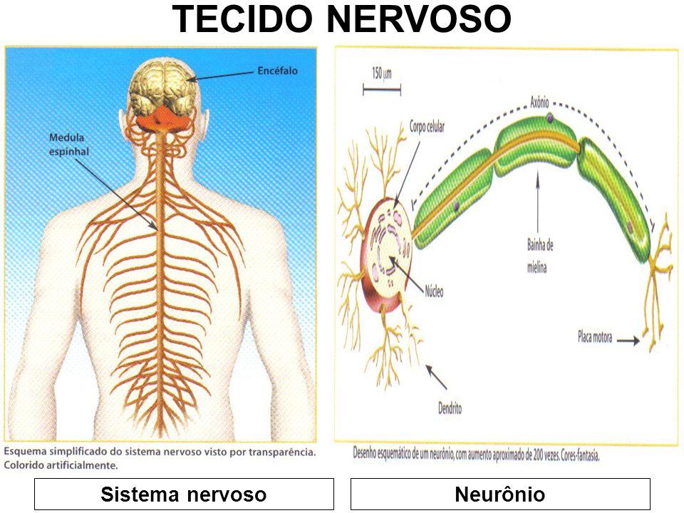 CÉLULAS MAIS RELEVANTES: -NEURÔNIOS -NEURÓGLIA (GLIA) TECIDO NERVOSO