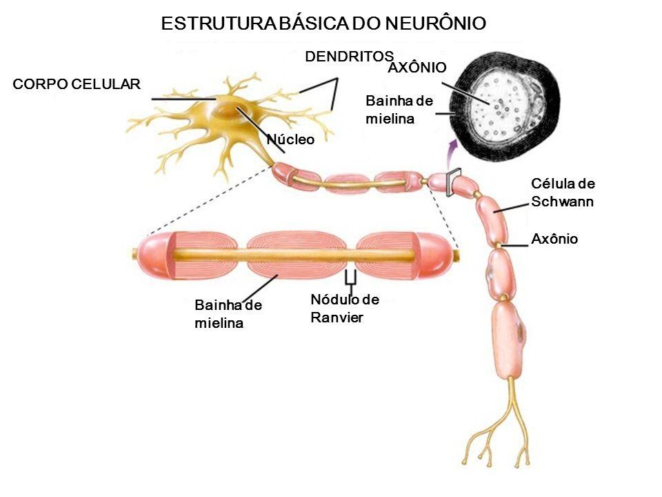 Sistema nervosoNeurônio