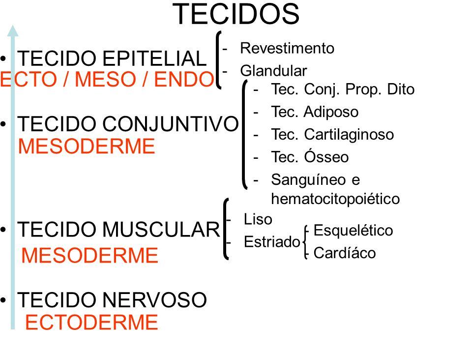 ECTODERME - Epiderme e seus anexos, encéfalo e medula espinhal. MESODERME - Notocorda (posteriormente é substituída por vértebras),esqueleto axial (co