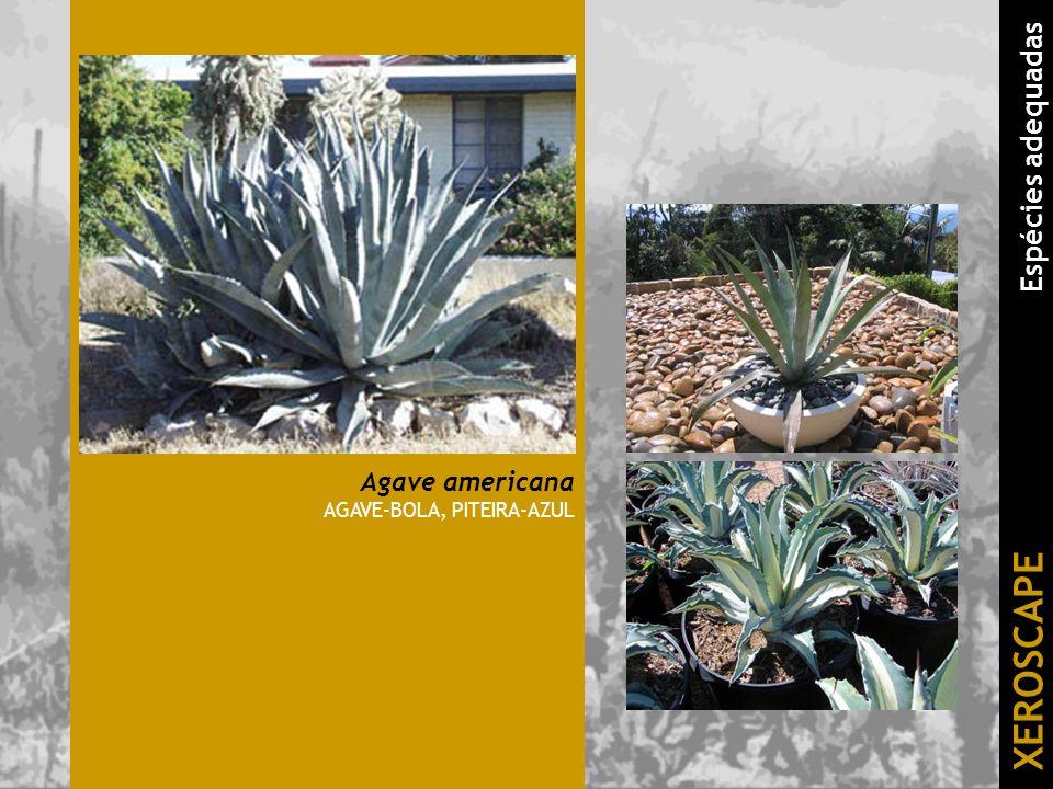 Agave americana AGAVE-BOLA, PITEIRA-AZUL XEROSCAPE Espécies adequadas