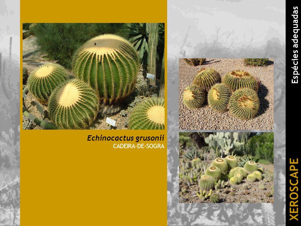 Echinocactus grusonii CADEIRA-DE-SOGRA XEROSCAPE Espécies adequadas