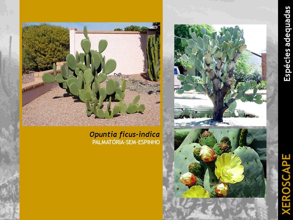 Opuntia ficus-indica PALMATÓRIA-SEM-ESPINHO XEROSCAPE Espécies adequadas