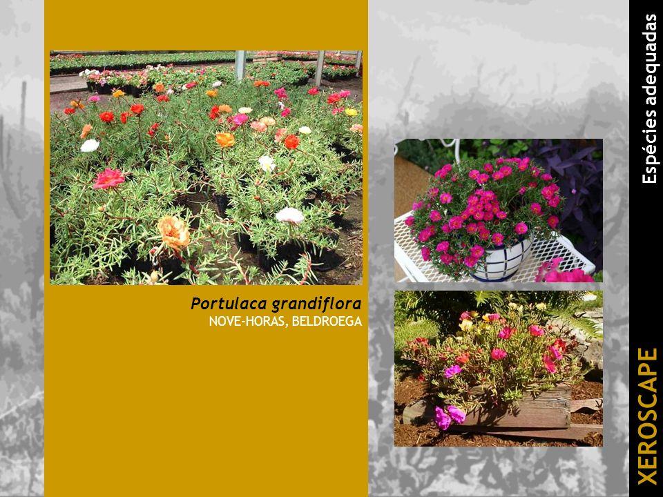 Portulaca grandiflora NOVE-HORAS, BELDROEGA XEROSCAPE Espécies adequadas