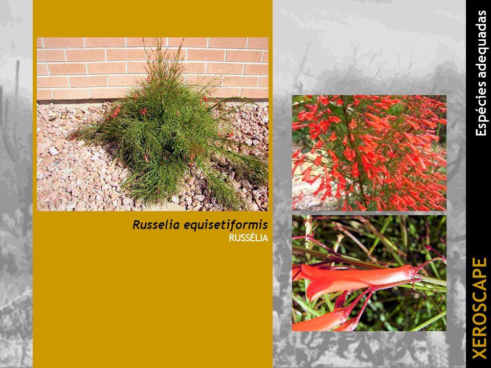 Russelia equisetiformis RUSSÉLIA XEROSCAPE Espécies adequadas
