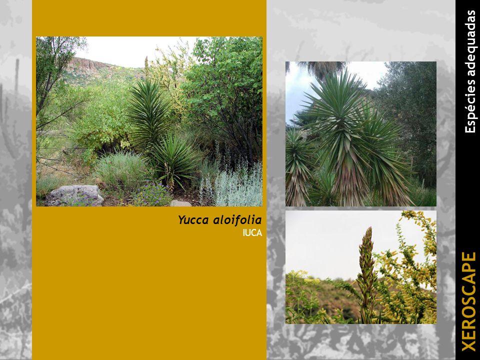 Yucca aloifolia IUCA XEROSCAPE Espécies adequadas