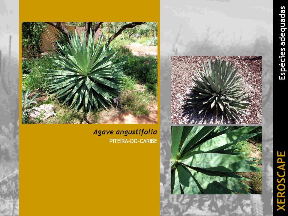 Agave angustifolia PITEIRA-DO-CARIBE XEROSCAPE Espécies adequadas