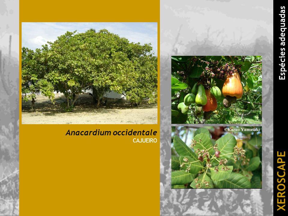 Anacardium occidentale CAJUEIRO XEROSCAPE Espécies adequadas