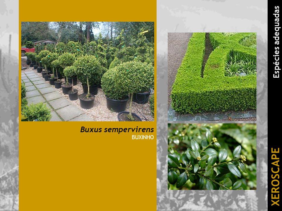 Buxus sempervirens BUXINHO XEROSCAPE Espécies adequadas