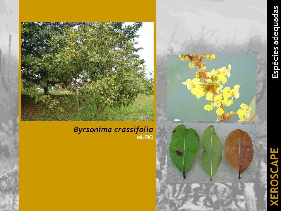 Byrsonima crassifolia MURICI XEROSCAPE Espécies adequadas