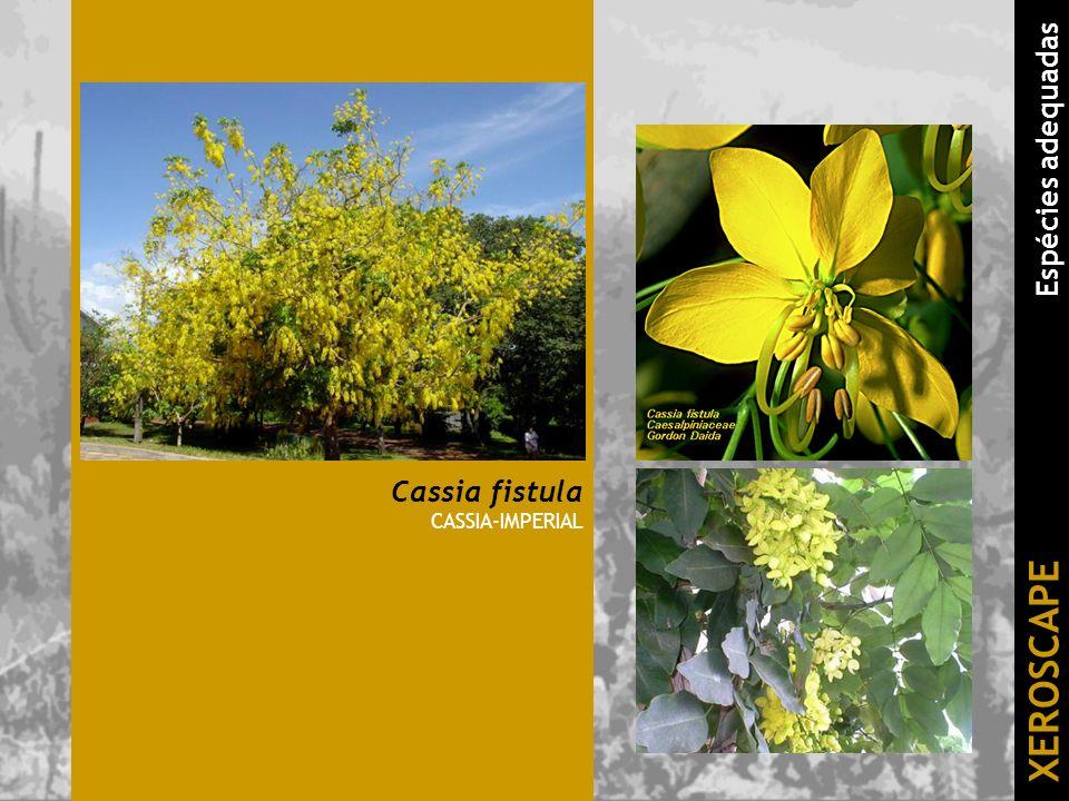 Cassia fistula CASSIA-IMPERIAL XEROSCAPE Espécies adequadas