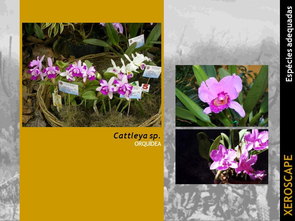 Cattleya sp. ORQUÍDEA XEROSCAPE Espécies adequadas