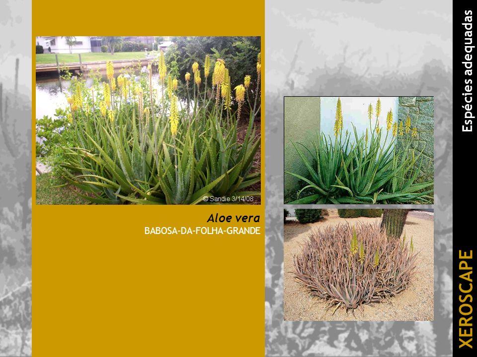 Aloe vera BABOSA-DA-FOLHA-GRANDE XEROSCAPE Espécies adequadas