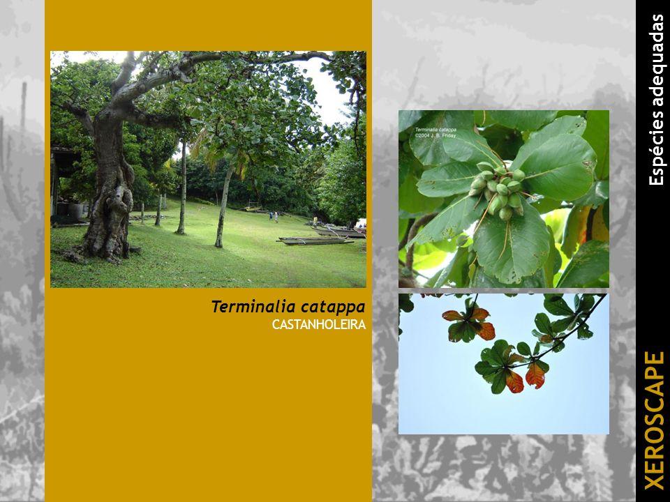 Terminalia catappa CASTANHOLEIRA XEROSCAPE Espécies adequadas