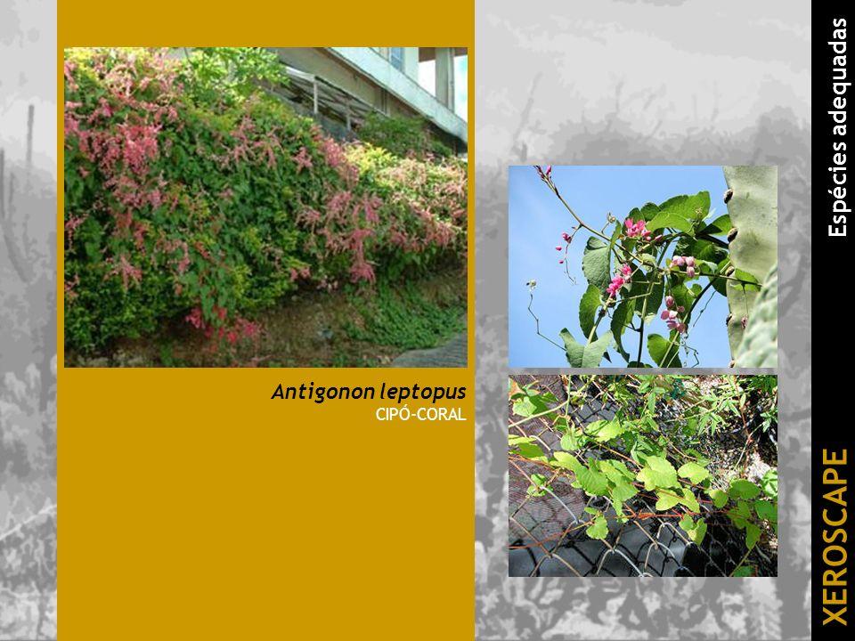 Antigonon leptopus CIPÓ-CORAL XEROSCAPE Espécies adequadas
