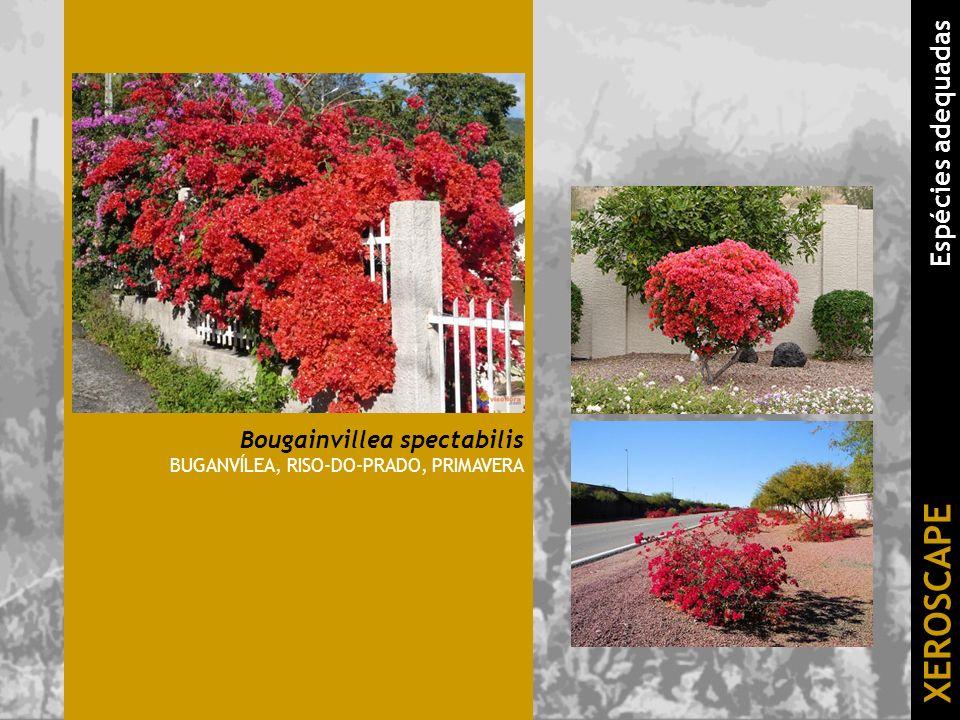 Bougainvillea spectabilis BUGANVÍLEA, RISO-DO-PRADO, PRIMAVERA XEROSCAPE Espécies adequadas