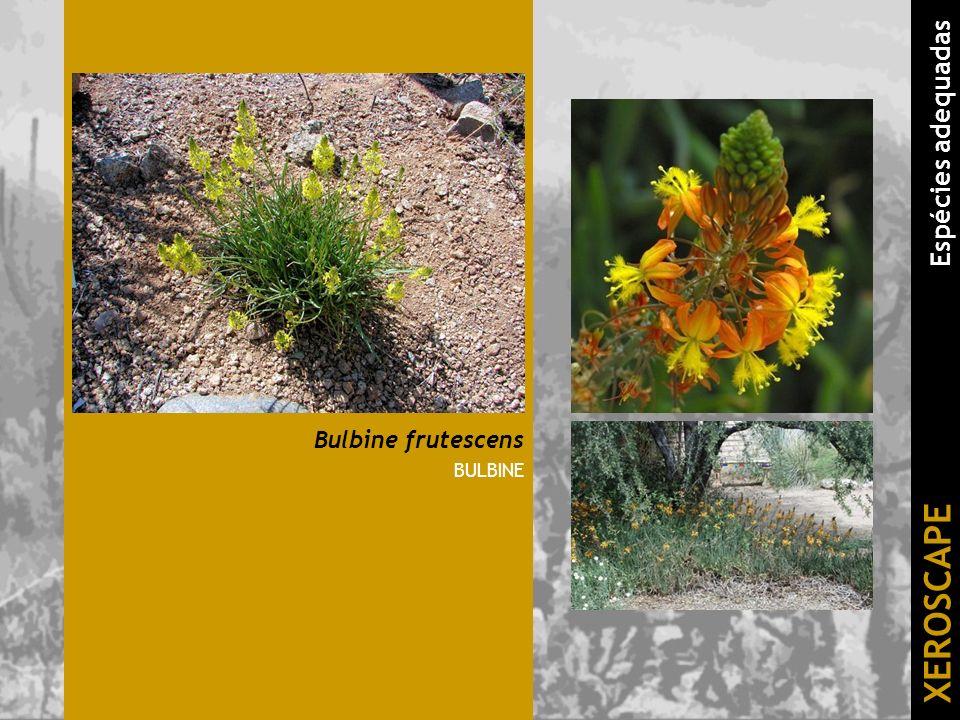 Bulbine frutescens BULBINE XEROSCAPE Espécies adequadas