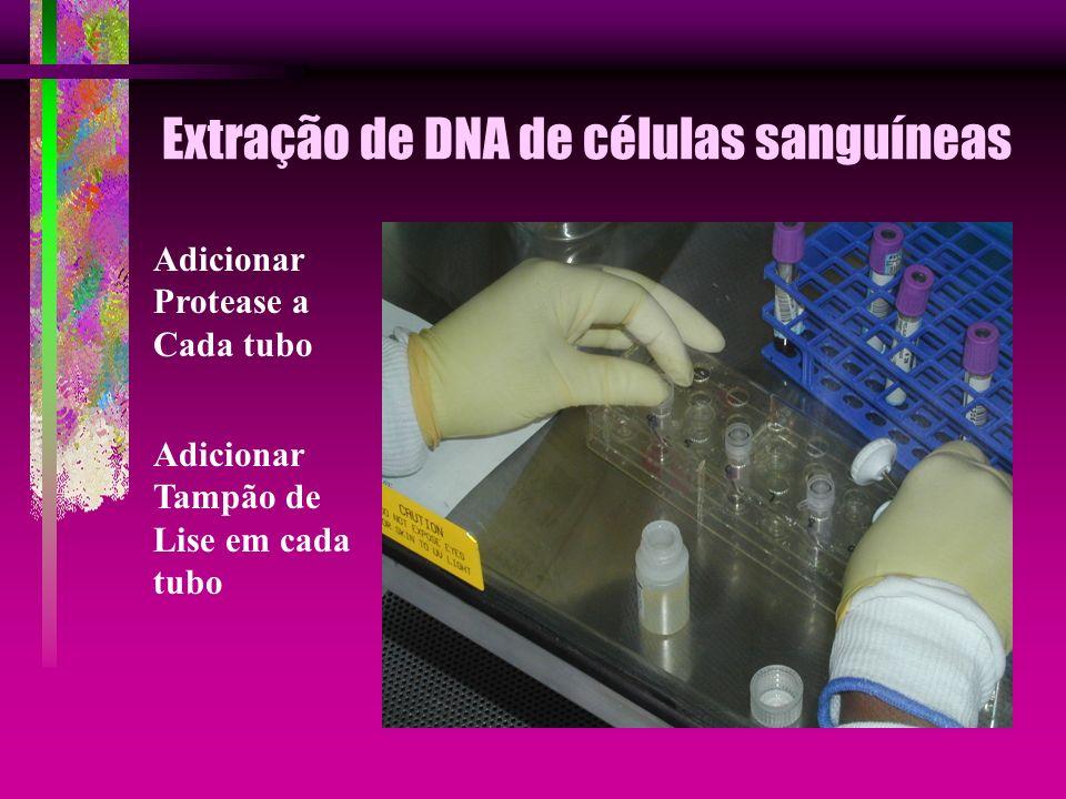 Extração de DNA de células sanguíneas Adicionar Protease a Cada tubo Adicionar Tampão de Lise em cada tubo
