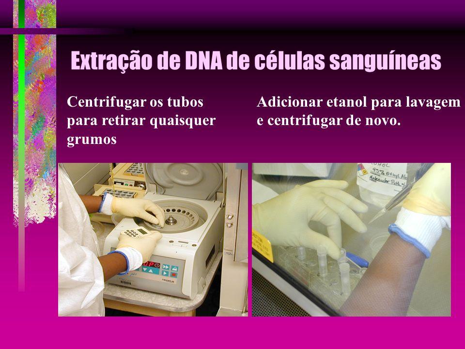 Extração de DNA de células sanguíneas Centrifugar os tubos para retirar quaisquer grumos Adicionar etanol para lavagem e centrifugar de novo.