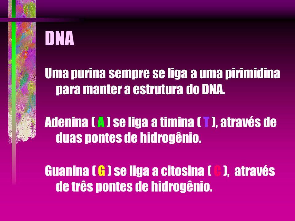 DNA Uma purina sempre se liga a uma pirimidina para manter a estrutura do DNA. Adenina ( A ) se liga a timina ( T ), através de duas pontes de hidrogê