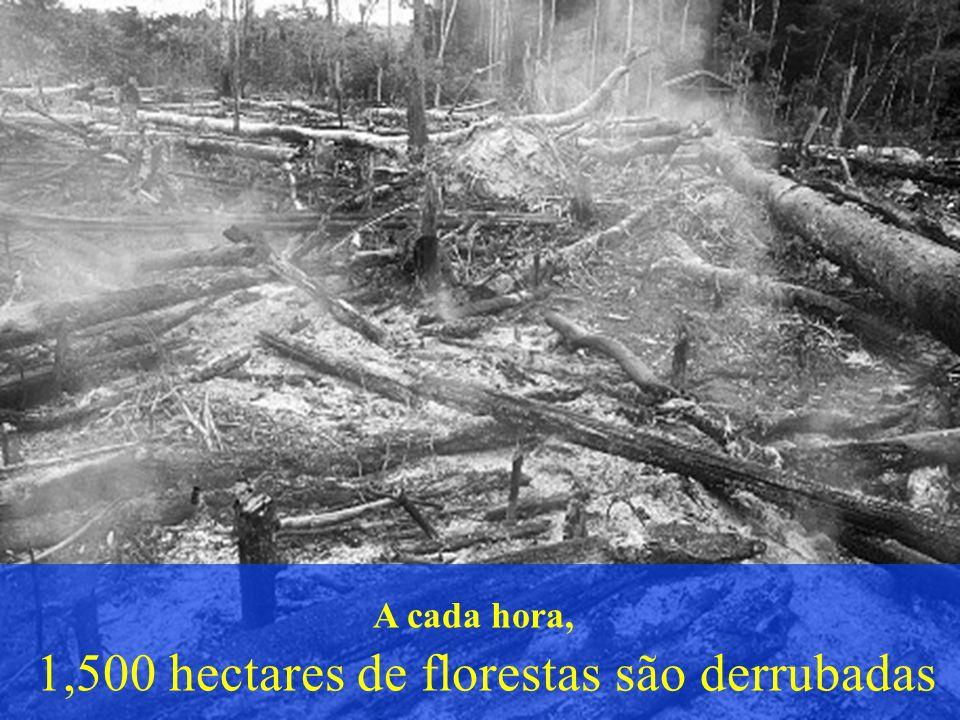 A cada hora, 1,500 hectares de florestas são derrubadas