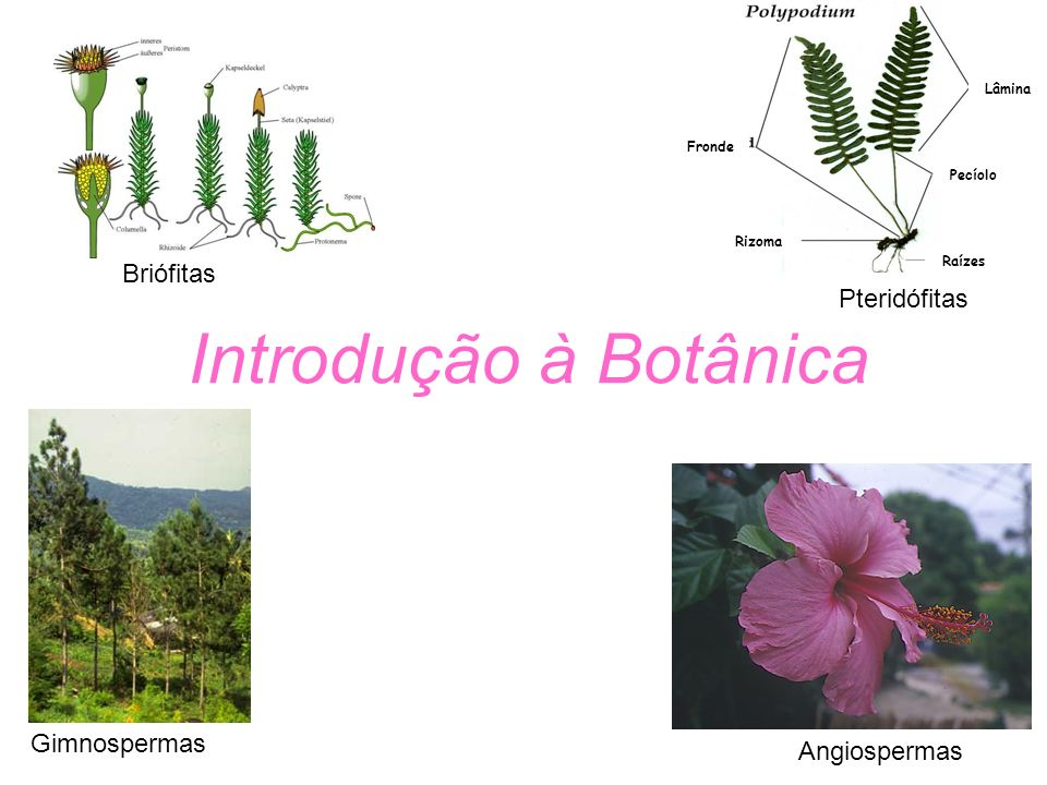 Raízes Rizoma Pecíolo Lâmina Fronde Briófitas Pteridófitas Gimnospermas Angiospermas Introdução à Botânica