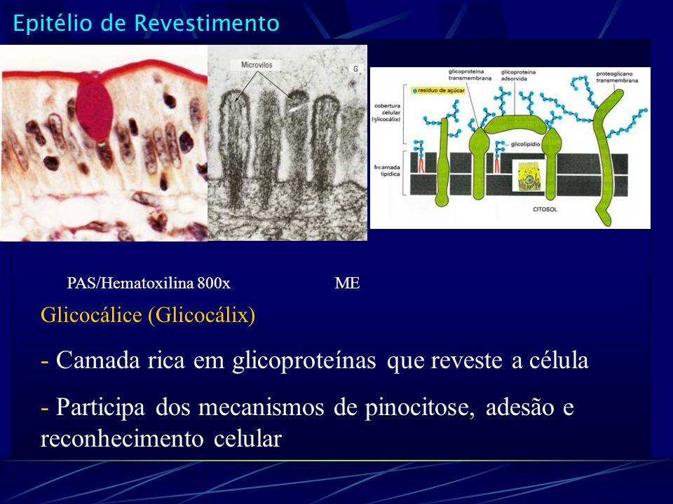 Epitélio de Revestimento Glicocálice (Glicocálix) - Camada rica em glicoproteínas que reveste a célula - Participa dos mecanismos de pinocitose, adesã