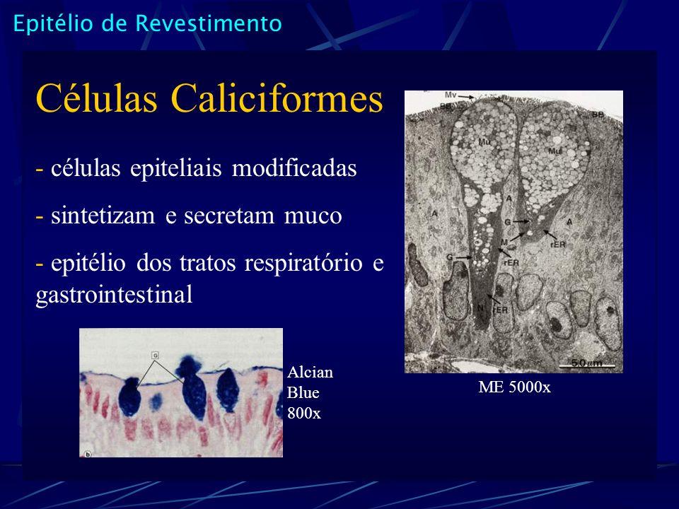 Epitélio de Revestimento Células Caliciformes - células epiteliais modificadas - sintetizam e secretam muco - epitélio dos tratos respiratório e gastrointestinal ME 5000x Alcian Blue 800x