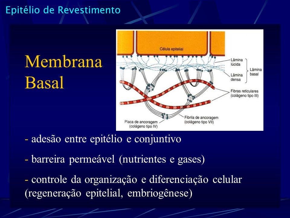 Epitélio de Revestimento Membrana Basal - adesão entre epitélio e conjuntivo - barreira permeável (nutrientes e gases) - controle da organização e dif