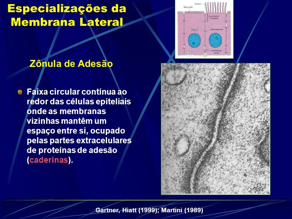 Zônula de Adesão Especializações da Membrana Lateral Gartner, Hiatt (1999); Martini (1989) Faixa circular contínua ao redor das células epiteliais onde as membranas vizinhas mantêm um espaço entre si, ocupado pelas partes extracelulares de proteínas de adesão (caderinas).