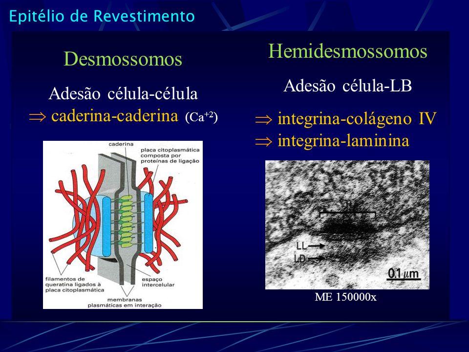 Epitélio de Revestimento Desmossomos Adesão célula-célula caderina-caderina (Ca +2 ) Hemidesmossomos Adesão célula-LB integrina-colágeno IV integrina-laminina ME 150000x