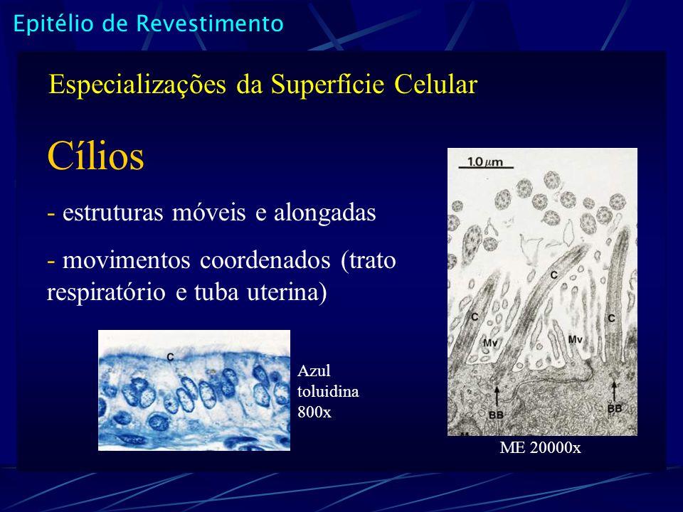 Epitélio de Revestimento Especializações da Superfície Celular Cílios - estruturas móveis e alongadas - movimentos coordenados (trato respiratório e tuba uterina) Azul toluidina 800x ME 20000x