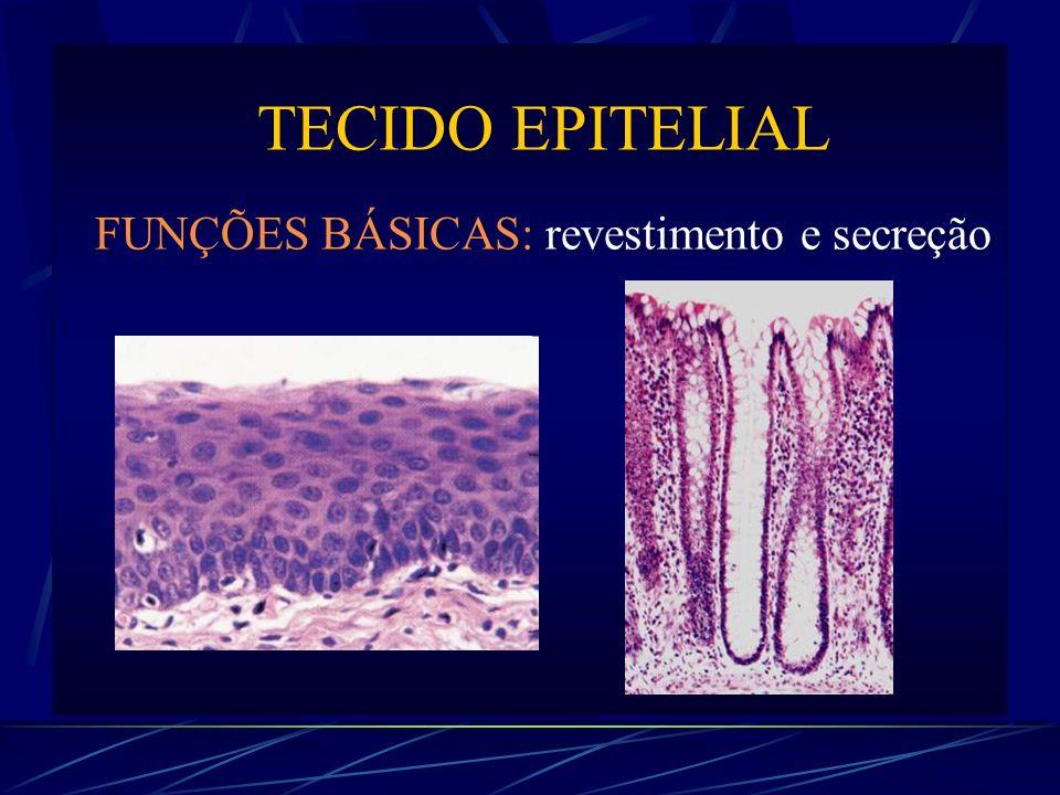Epitélio de Revestimento Membrana Basal - adesão entre epitélio e conjuntivo - barreira permeável (nutrientes e gases) - controle da organização e diferenciação celular (regeneração epitelial, embriogênese)