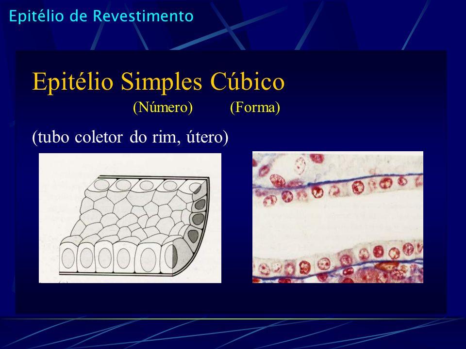 Epitélio de Revestimento Epitélio Simples Cúbico (Número) (Forma) (tubo coletor do rim, útero)