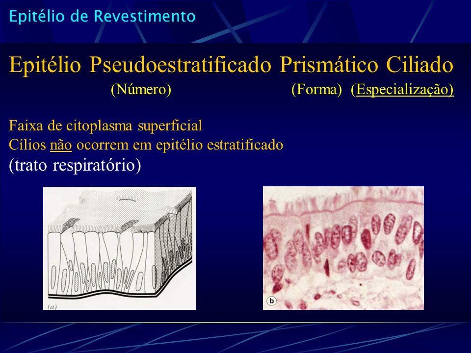 Epitélio de Revestimento Epitélio Pseudoestratificado Prismático Ciliado (Número)(Forma) (Especialização) Faixa de citoplasma superficial Cílios não o