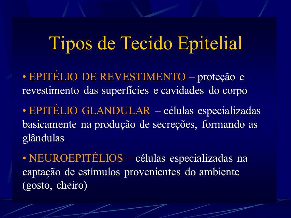 Tipos de Tecido Epitelial EPITÉLIO DE REVESTIMENTO – proteção e revestimento das superfícies e cavidades do corpo EPITÉLIO GLANDULAR – células especializadas basicamente na produção de secreções, formando as glândulas NEUROEPITÉLIOS – células especializadas na captação de estímulos provenientes do ambiente (gosto, cheiro) Tipos de Tecido Epitelial EPITÉLIO DE REVESTIMENTO – proteção e revestimento das superfícies e cavidades do corpo EPITÉLIO GLANDULAR – células especializadas basicamente na produção de secreções, formando as glândulas NEUROEPITÉLIOS – células especializadas na captação de estímulos provenientes do ambiente (gosto, cheiro)