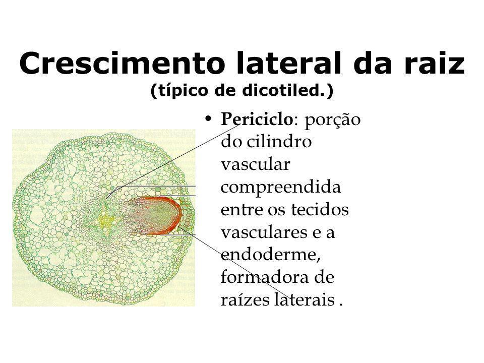 Crescimento lateral da raiz (típico de dicotiled.) Periciclo : porção do cilindro vascular compreendida entre os tecidos vasculares e a endoderme, for