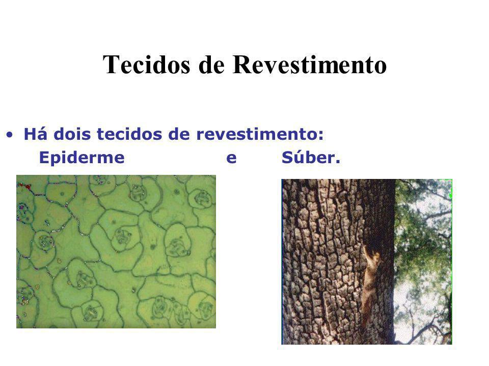 Tecidos de Revestimento Há dois tecidos de revestimento: Epiderme e Súber.
