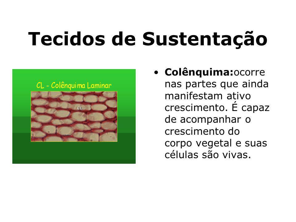 Tecidos de Sustentação Colênquima:ocorre nas partes que ainda manifestam ativo crescimento. É capaz de acompanhar o crescimento do corpo vegetal e sua