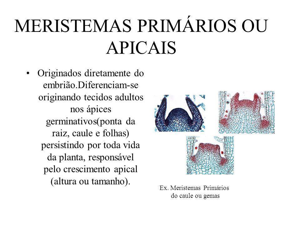 MERISTEMAS PRIMÁRIOS OU APICAIS Originados diretamente do embrião.Diferenciam-se originando tecidos adultos nos ápices germinativos(ponta da raiz, cau