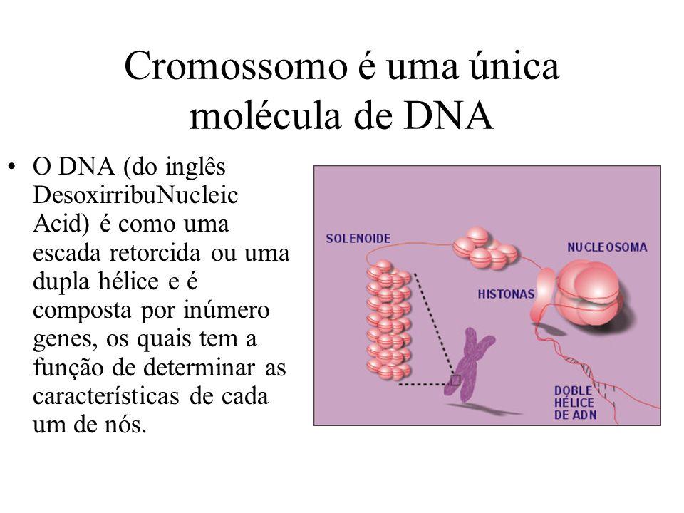 Cromossomo é uma única molécula de DNA O DNA (do inglês DesoxirribuNucleic Acid) é como uma escada retorcida ou uma dupla hélice e é composta por inúm