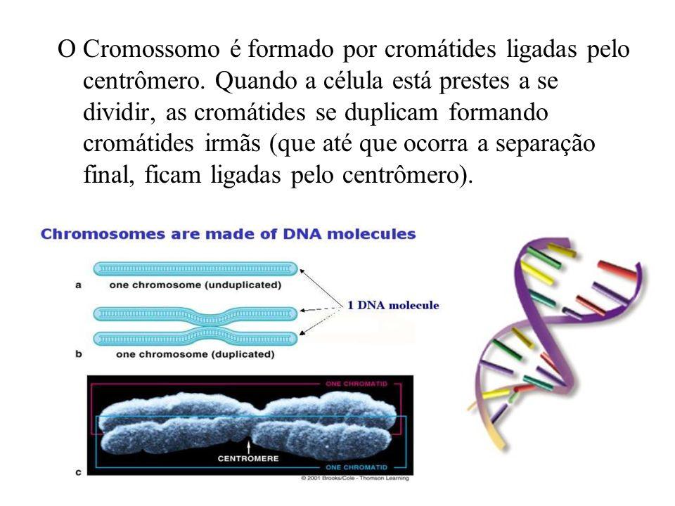 O Cromossomo é formado por cromátides ligadas pelo centrômero. Quando a célula está prestes a se dividir, as cromátides se duplicam formando cromátide