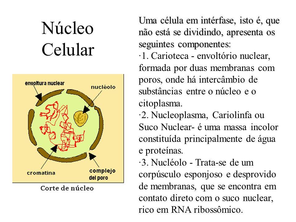 Núcleo Celular Uma célula em intérfase, isto é, que não está se dividindo, apresenta os seguintes componentes Uma célula em intérfase, isto é, que não