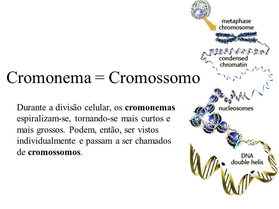 Cromonema = Cromossomo Durante a divisão celular, os cromonemas espiralizam-se, tornando-se mais curtos e mais grossos. Podem, então, ser vistos indiv