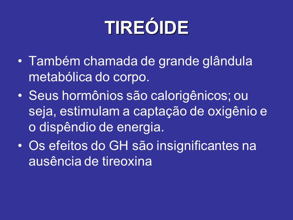 TIREÓIDE Também chamada de grande glândula metabólica do corpo. Seus hormônios são calorigênicos; ou seja, estimulam a captação de oxigênio e o dispên