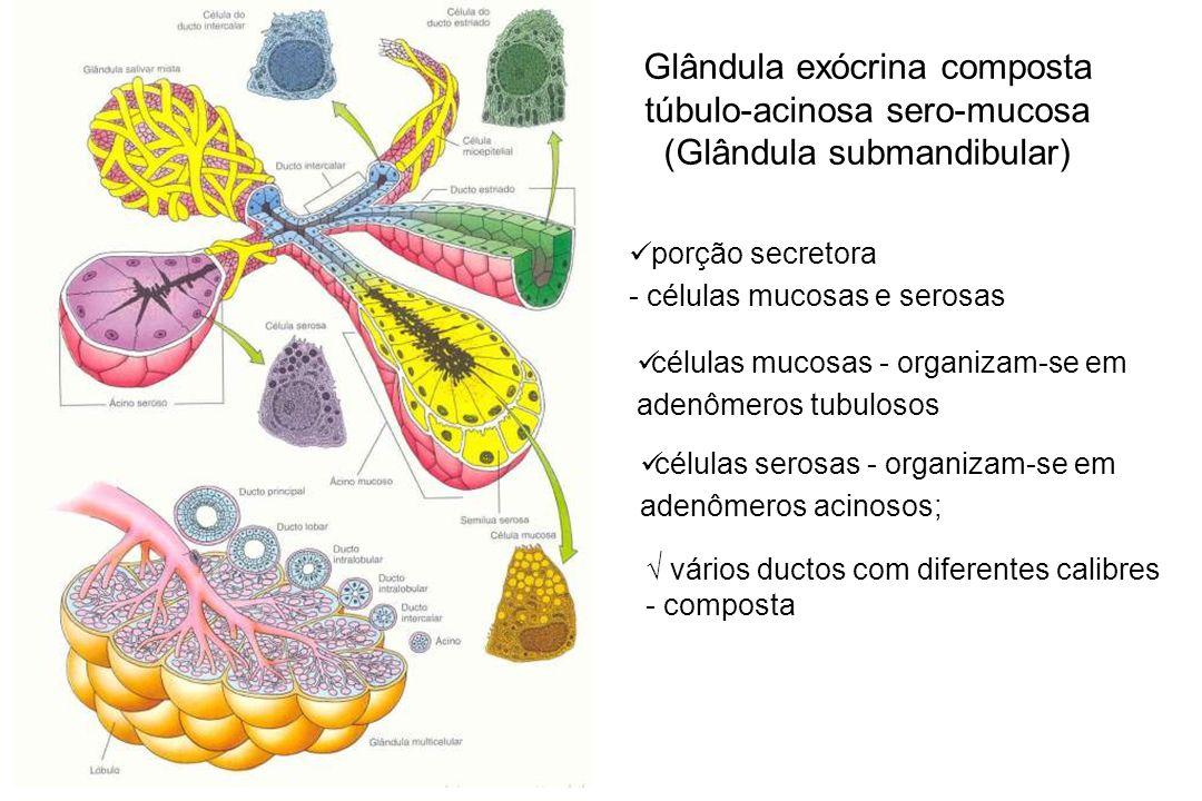 Glândula exócrina composta túbulo-acinosa sero-mucosa (Glândula submandibular) porção secretora - células mucosas e serosas células serosas - organiza