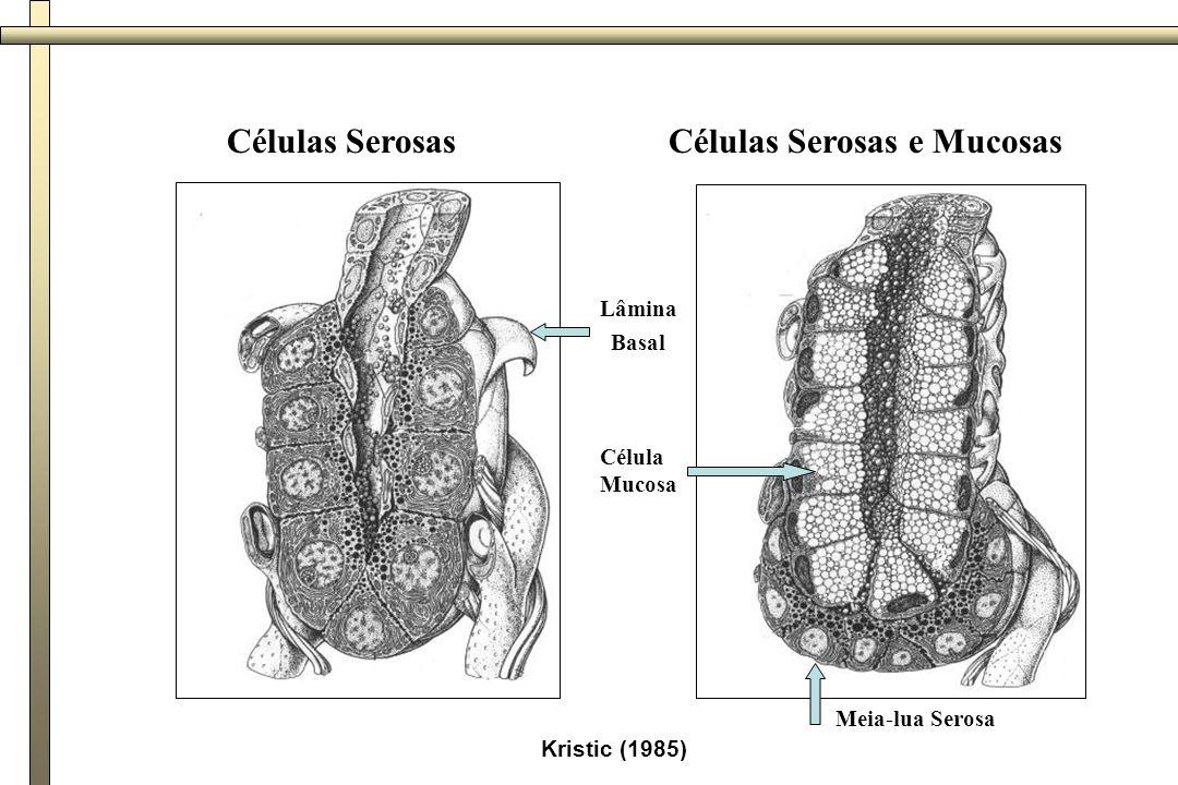 Kristic (1985) Células SerosasCélulas Serosas e Mucosas Meia-lua Serosa Lâmina Basal Célula Mucosa