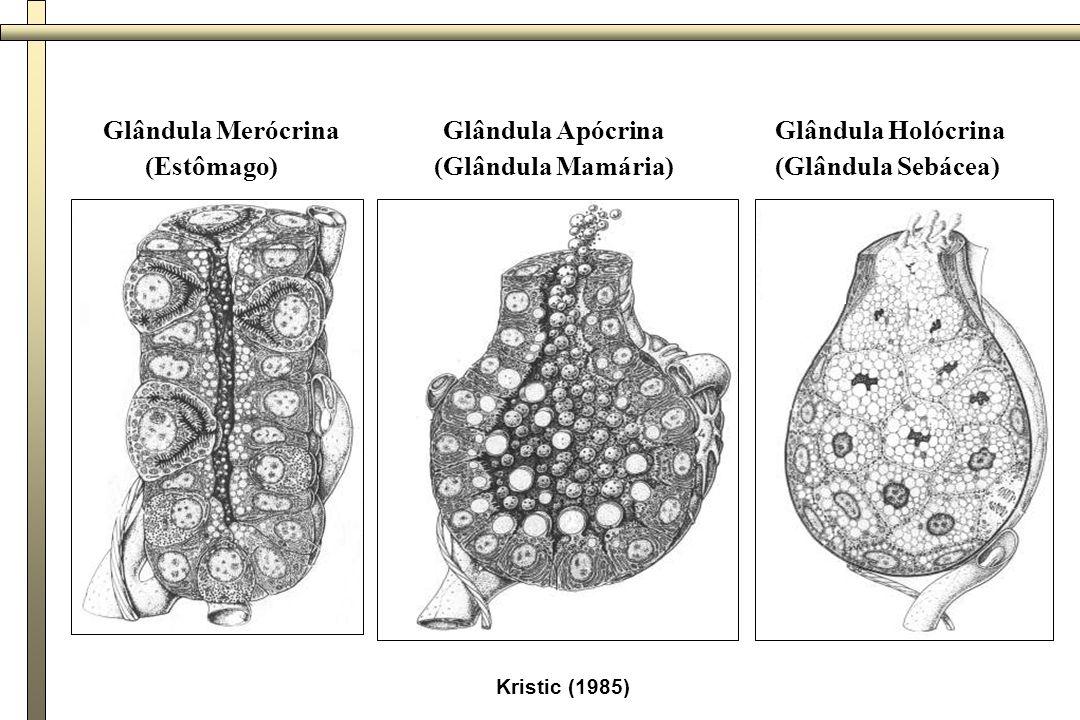 Kristic (1985) Glândula Merócrina (Estômago) Glândula Apócrina (Glândula Mamária) Glândula Holócrina (Glândula Sebácea)