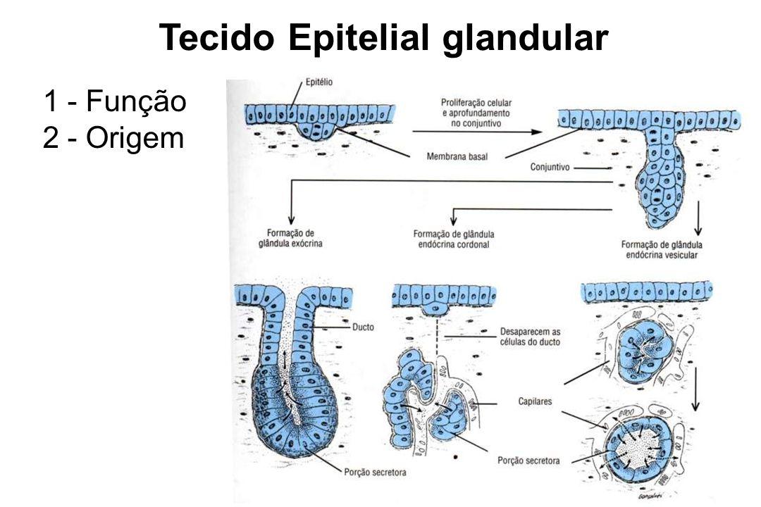 Tecido Epitelial glandular 1 - Função 2 - Origem