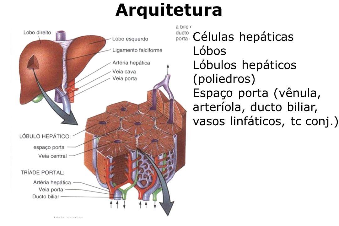 Arquitetura Células hepáticas Lóbos Lóbulos hepáticos (poliedros) Espaço porta (vênula, arteríola, ducto biliar, vasos linfáticos, tc conj.)