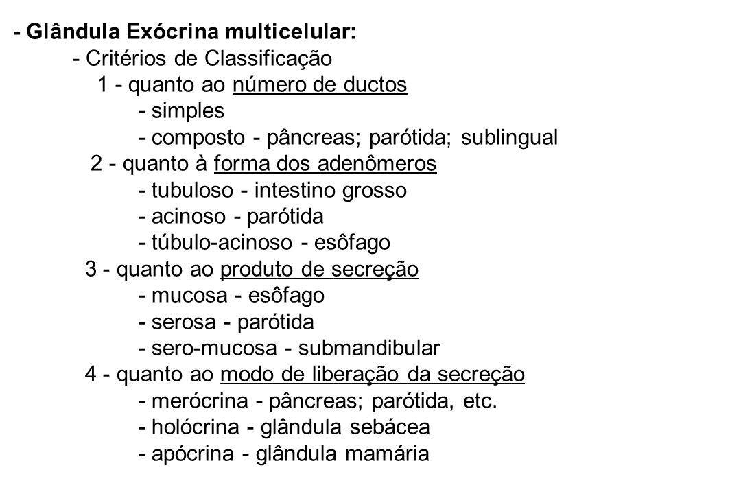 - Glândula Exócrina multicelular: - Critérios de Classificação 1 - quanto ao número de ductos - simples - composto - pâncreas; parótida; sublingual 2